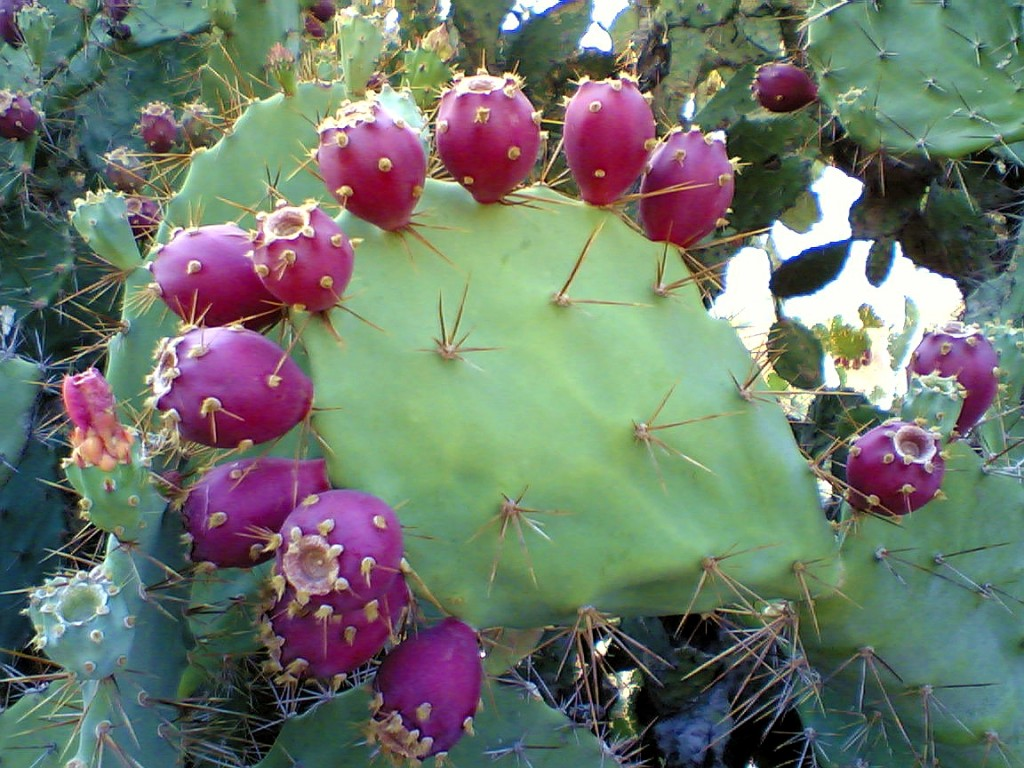 Prickly_pear_cactus_beed